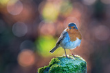 Robin Standing on an Ice Covered Mossy Post with Bright Circular Bokeh Reproduction photographique par Toby Gibson