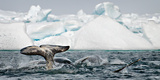 Pod of Narwhal, Monodon Monoceros, Surfacing and Tail Slapping Along Floe-Edge Nunavut, Canada Photographic Print by Chris Cheadle
