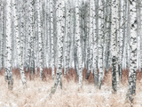 Close-Up of Birch Trees in Forest Photographic Print by Mikael Svensson