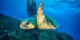 Loggerhead Turtle, (Caretta Caretta), Indian Ocean Fotoprint van Peter Pinnock