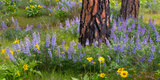 Lupine and Balsam Root Surround Trunks of Ponderosa Pine Trees, Columbia Gorge National Scenic Area Photographic Print by Terry Donnelly