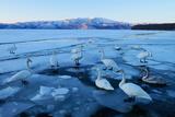 Whooper Swans (Cygnus Cygnus), Standing on Ice Floes, Kussharo Lake, Kawayu Onsen, Hokkaido, Japan Photographic Print by Klaus-Peter Wolf