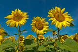 Sunflowers (Helianthus Annuus) Photographic Print by Klaus-Peter Wolf