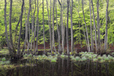 Trees in a Swamp, Bog, Binz, Mecklenburg-Western Pomerania, Germany Photographic Print by Klaus-Peter Wolf