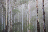 Tall Moist Eucalypt Forest, the Central Coast of Nsw, Australia Photographic Print by Marc Anderson