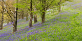 Wild English Bluebells are Lit Up by the Early Morning Sunrise Photographic Print by John Greenwood