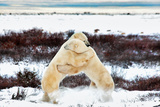Two Male Polar Bears, Ursus Maritimus, Sparring, Churchill, Manitoba, Canada Photographic Print by Chris Cheadle