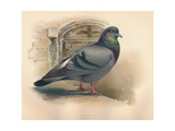 Rock Dove (Columba livia), c1900, (1900) Giclee Print by Charles Whymper