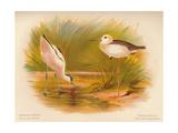Common Avocet (Recurvirostra avocetta), Common Stilt (Himantopus melanopterus), 1900, (1900) Giclee Print by Charles Whymper
