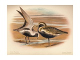 Grey Plover (Squatarola helvetica), Golden Plover (Charadrius pluvialus), 1900, (1900) Giclee Print by Charles Whymper