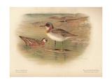 Grey Phalarope (Phalaropus fulicarius), Red-Necker Phalarope (Phalaropus hyperboreus), 1900 Giclee Print by Charles Whymper