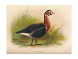 Red-Breasted Goose (Branta ruficollis), 1900, (1900) Giclee Print by Charles Whymper