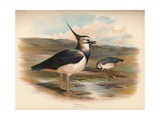 Lapwing (Vanellus cristacus), 1900, (1900) Giclee Print by Charles Whymper