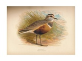 Dotterel (Eudromias morinellus), 1900, (1900) Giclee Print by Charles Whymper