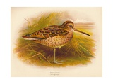 Great Snipe (Gallinago major), 1900, (1900) Giclee Print by Charles Whymper