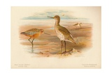 Bar-Tailed Godwit (Limosa rufa), Common Redshank (Totanus), 1900, (1900) Giclee Print by Charles Whymper