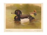 Tufted Duck (Fuligata cristata), Red-Crested Pochard (Netta rufina), 1900, (1900) Giclee Print by Charles Whymper