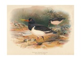 Common Oyster-Catcher (Haematopus ostralegus), 1900, (1900) Giclee Print by Charles Whymper