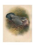 Ring Dove (Columbs palumbus), 1900, (1900) Giclee Print by Charles Whymper