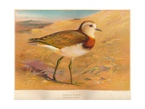 Caspian Plover (Ochthodromus asiaticus), 1900, (1900) Giclee Print by Charles Whymper