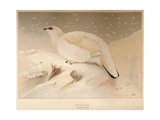 Ptarmigan (Lagopus mutus), 1900, (1900) Giclee Print by Charles Whymper