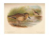 Buff-Breasted Sandpiper (Tringites rufescns), Bartrams Sandpiper (Bartramia longicauda), 1900, (1 Giclee Print by Charles Whymper