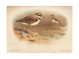 Little Ringed Plover (Aegialitis minor), Killdeer Plover (Oxyechus vociferus), 1900, (1900) Giclee Print by Charles Whymper