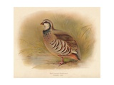 Red-Legged Partridge (Caccabus rufa), 1900, (1900) Giclee Print by Charles Whymper