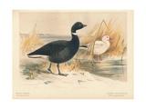 Brent Goose (Branta bernicla), Lesser Snow Goose (Chen hyperboreus), 1900, (1900) Giclee Print by Charles Whymper