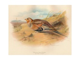 Pallass Sand-Grouse (Syrrhaptes paradoxus), 1900, (1900) Giclee Print by Charles Whymper