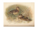 Common Snipe (Gallinago scolopacina), Jack Snipe (Limnocryptes gallinula), 1900, (1900) Giclee Print by Charles Whymper