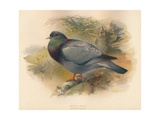 Stock Dove (Columba aenas), 1900, (1900) Giclee Print by Charles Whymper
