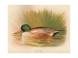 Shoveler (Spatula clypeata), 1900, (1900) Giclee Print by Charles Whymper
