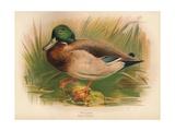 Mallard (Anas boschas), 1900, (1900) Giclee Print by Charles Whymper