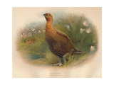 Red Grouse (Lagopus scoticus), 1900, (1900) Giclee Print by Charles Whymper