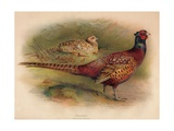 Pheasant (Phasianus colchicus), 1900, (1900) Giclee Print by Charles Whymper
