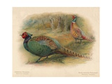 Japanese Pheasant (Phasaianus versicolor), Ring-Necked Pheasant (Phasaianus torquatus), 1900 Giclee Print by Charles Whymper