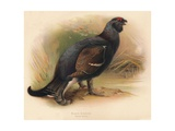 Black Grouse (Tetrau tetrix), 1900, (1900) Giclee Print by Charles Whymper