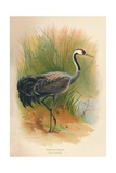 Common Crane (Grus cinerea), 1900, (1900) Giclee Print by Charles Whymper