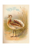 Great Bustard (Otis tarda), 1900, (1900) Giclee Print by Charles Whymper