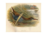 Water Rail (Rallus aquaticus), 1900, (1900) Giclee Print by Charles Whymper
