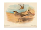Common Pratincole (Glareola pratincola), Sociable Lapwing (Vanellus gregarius), 1900, (1900) Giclee Print by Charles Whymper