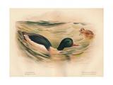 Goosander (Merganser castor), Harlequin Duck (Cosmonetta histrionica), 1900, (1900) Giclee Print by Charles Whymper
