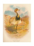 Macqueens Bustard (Houbara macqueeni), 1900, (1900) Giclee Print by Charles Whymper