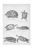 Tortoise, 1885 Giclée-tryk