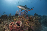 A Tiger Shark on a Coral Reef in the Northern Bahamas Photographic Print by Brian Skerry