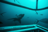 As Seen Through a Shark Cage, a Great White Shark Swims in Waters Off the Neptune Islands Photographic Print by Brian Skerry
