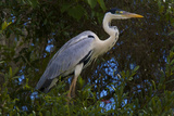 A Cocoi Heron, Ardea Cocoi, Perched in a Tree Photographic Print by Steve Winter
