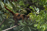 An Adult Woolly Monkey with Young in Yasuni National Park Photographic Print by Steve Winter