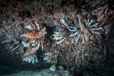 Large Groups of the Invasive Species, the Lionfish, Live and Hunt in Rich Coral Reefs Photographic Print by Jennifer Hayes